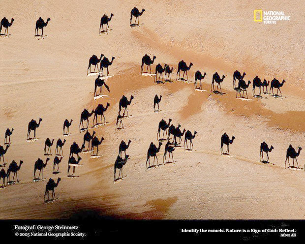 Camels © National Geographic
